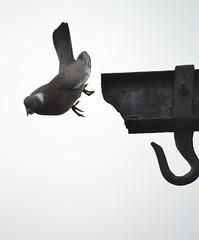 Free Fall ( No Photo shop) (Clare-White) Tags: bird pigeon fall hook white bestofweek1 bestofweek2 bestofweek3 bestofweek4 bestofweek5 action