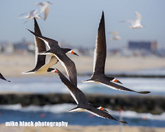 Skimmers and Terns in flight at NJ shore (Mike Black photography) Tags: ocean new white black bird beach mike nature canon photo big sand year birding nj shore jersey dslr 5ds wnged