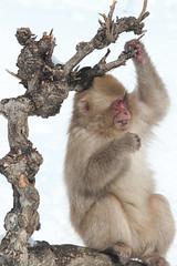 Snow Monkey (Masashi Mochida) Tags: winter snow animal japan monkey child wildlife nagano jigokudani snowmonkey