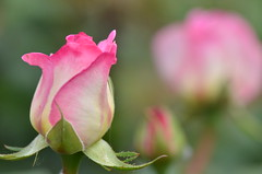 Happy Mother's Day (dfromonteil) Tags: rose rosebud flower fleur vert green macro bokeh mothersday ftedesmres