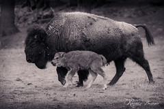 famille bison (Romain Beauvois) Tags: animaux parcomega ete