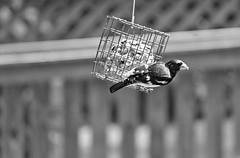 Rose-Breasted Grosbeak ~ HMBT & HFF! (karma (Karen)) Tags: bw home monochrome birds backyard dof bokeh maryland baltimore feeders rosebreastedgrosbeak hff fencefridays hmbt