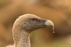 Grifo, Griffon Vulture (Gyps fulvus) (nuno.xavier@moreira) Tags: wildlife ngc liberdade xavier nuno grifo gypsfulvus eurasiangriffon moreira eurasiangriffonvulture griffonvulturegypsfulvusemliberdadewildlifenunoxavierlopesmoreira