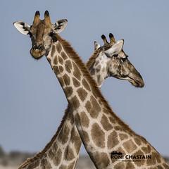 Namibia_060516_0956 (Roni Chastain Photography) Tags: namibia etosha park wildlfe animals africa safari etoshapark