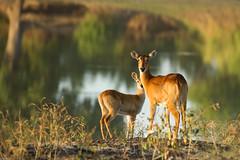 Golden light Pukus (Pim Stouten) Tags: dof bokeh young mother safari explore antelope mutter moeder antilope zambia jong gamedrive mre goldenlight southluangwa puku kobusvardonii poekoe