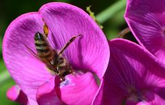 Immer der Nase nach! (deta k) Tags: flowers macro flora blumen bee blten bienen nikond7100