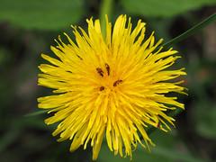 Baden bei Wien Frchling wiosna 2016 (arjuna_zbycho) Tags: flowers spring natur blumen insekten kwiaty frhling wiosna badenbeiwien