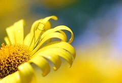 One Curl (Karen_Chappell) Tags: flower macro nature floral yellow newfoundland garden petals daisy botanicalgarden nfld boken canonef100mmf28usmmacro