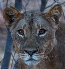 Botswana Lioness (Doreencpa) Tags: bigcat lion lioness safari africa botswana animal carnivore mammal cat