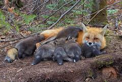 Busy mom (JD~PHOTOGRAPHY) Tags: wild nature animal feeding wildlife mother fox kits wildanimals foxkits femalefox feedingfoxkits