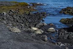 Sea turtles (Sean Munson) Tags: beach bigisland blacksandbeach hawaii ocean pacificocean punaluublacksandbeach seaturtle seaturtles turtle turtles