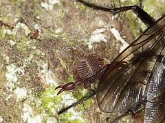 Large Tree-chernes - Dendrochernes cyrneus (Chernetidae) (gbohne) Tags: canon geo:region=europe geo:country=germany arthropoda arthropods taxonomy:phylum=arthropoda sababurg urwald totholz taxonomy:subphylum=hexapoda insects insekten insect insekt insecta pterygota taxonomy:subclass=pterygota neoptera taxonomy:infraclass=neoptera pseudoscorpions pseudoskorpione taxonomy:order=pseudoscorpionida flash macro makro spinnentiere phoresie afterskorpione falsescorpions phoret specinsect outdoor gliederfüser rl3 primevalforestrelics taxonomy:suborder=iocheirata taxonomy:infraorder=panctenata taxonomy:superfamily=cheliferoidea taxonomy:family=chernetidae phoresy zweiflügler diptera fliege fly fliegenbein urwaldrelikt taxonomy:class=insecta taxonomy:order=diptera taxonomy:suborder=brachycera taxonomy:infraorder=muscomorpha taxonomy:superfamily=muscoidea taxonomy:family=anthomyiidae