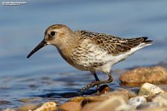 Dunlin (Calidris alpina) (Nigel Blake, 13 MILLION...Yay! Many thanks!) Tags: dunlin calidris alpina calidrid snettisham wader shorebird calidrisalpina nigelblakephotography nigelblake bird birds ornithology wildlife nature