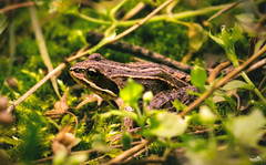 On Forest Ground (VandenBerge Photography) Tags: forest poland europe amphibians small focus green nature animal toad pov westpommern