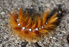 """Acronicta aceris"" - bont schaapje (bugman11) Tags: bontschaapje catterpillar catterpillars canon macro bug bugs insect insects animal animals fauna acronictaaceris nature 100mm28lmacro nederland thenetherlands 1001nightsmagiccity 1001nights autofocus thegalaxy ruby5"