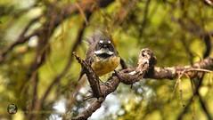 New Zealand Fantail (Rhipidura fuliginosa) (Julie V. Simpson Photographer) Tags: wairerebouldersnaturepark basaltrocks newzealand nzbush trees ferns