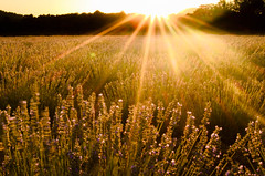 Lavandines al atardecer.jpg (Jr mol) Tags: aromaticas lasalmenas lavanda atardecer sol