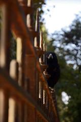 Corneille noire (Laura Carrier) Tags: corneille noire corvus corone carrion crow ois oiseaux oiseau birds bird paris france ornitho ornithologie ornithologique nikon d7000 photographie photo faune