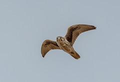 Prairie Falcon (Gentilcore) Tags: unitedstates nevada birdsinflight birdsofprey greatbasin falconiformes washoevalley falconidae washoecounty falcomexicanus washoelake newwashoecity