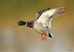 DRAKE MALLARD (sea25bill) Tags: california morning sun lake green fall nature duck inflight wildlife drakemallard