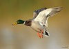 DRAKE MALLARD (sea25bill) Tags: california morning sun lake green fall nature duck inflight wildlife drakemallard