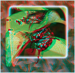Going Inverted, Japanese Beetles Mating 4 - Anaglyph 3D (DarkOnus) Tags: macro sex closeup insect lumix japanese 3d pennsylvania going anaglyph mating beetles inverted buckscounty humping redcyan ihd dmcfz35 insecthumpday