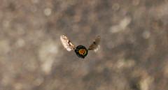 Bzzz (Bielnery) Tags: speed fly br fast sp mosca blowfly varejeira