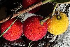 croatia  DSC00971 (Rolf Kamras) Tags: berries croatia dubrovnik babinkuk