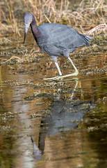 _C5A3709.jpg (Lake Worth) Tags: bird nature birds animal animals canon wings wildlife feathers sigma waterbird wetlands everglades waterbirds southflorida 2xextender