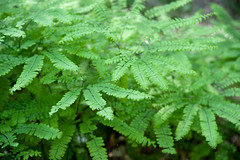 Fern (-- Green Light Images --) Tags: usa fern newjersey nj newton swartswood 2013 dsc5808