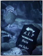 Fischsterben (masine) Tags: blue fish berlin water grave aquarium wasser symbol rip tombstone gimp sealife fisch fishkill sharks blau grab animalplanet haie
