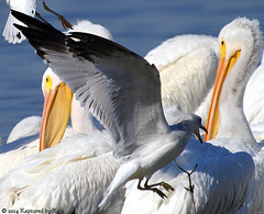 Close-up of Attacking Gull A (Kaptured by Kala) Tags: pelicans nature wings gull attacking whiterocklake ringbilledgull americanwhitepelican ringbilled sunsetbay dallastexas firstyearringbilledgull
