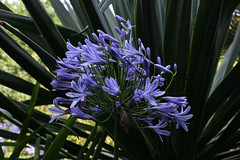 Agapanthus, Carreg Dhu Gardens, St Mary's (Scilly Isle) Tags: pink blue sea white tree green chicken beach windmill robin grass shop landscape sussex boat purple dove starling bamboo bee lilac sparrow buff shrub agapanthus geranium blackbird isles wetsuit scilly duckpond narcissus islesofscilly orpington scillyisles leghorn scillonian collarddove speros hydgrangea canon600d harryswalls longneckedduck