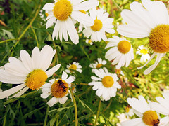Lovely daisies and a bee... (Wanderlust journeys) Tags: flowers daisies bee seoul southkorea