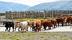 Cattle / Patagonia Pateau, Chile (Life is food!!!) Tags: nikond3
