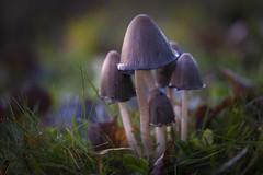Fungus family (PixPep) Tags: nature bokeh beautifullight fungi fungus fungal beautifulnature beautifulcolours beautifulbokeh pixpep