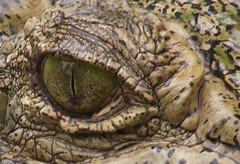 KOH SAMUI ISLAND CROCODILE EYE (patrick555666751) Tags: crocodile kho samui reptile reptilians crocodilians thailand thailande asia asie du sud est south east island eye oeil