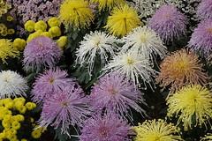 (ddsnet) Tags: travel plant flower japan sony cybershot  nippon  kansai  chrysanthemum nihon  backpackers        rx10 hygoken    flowerinjapan akashishi