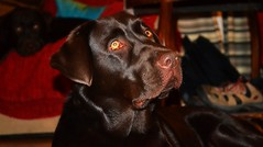 Please Sir, I want some more... (Michael C. Hall) Tags: ireland red dog labrador mood chocolate bruno