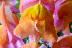 flower macro closeup snapdragon