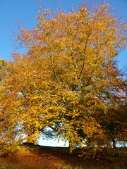 Golden Yellow Beech Tree (35mmMan) Tags: park autumn trees yellow golden hatfieldhouse beech android hertfordshire herts hatfieldpark samsungkzoom