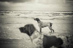 Fifi & Elof in the sea (johanmede) Tags: birddog fifi danmark vatten jylland badat blt braquefrancais elof fgelhund fifidelabalingue elofdelabalingue