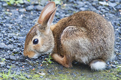 Rabbit 6 (Largeguy1) Tags: rabbit bunny nature animal canon lens mark iii 150 5d approved tamron 600mm