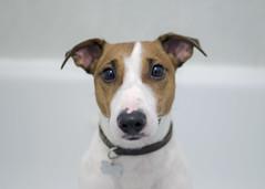 Those eyes (Hooman Askary) Tags: portrait dog cute love animal eyes bath jackrussell - 15882585458_d4a732f592_m