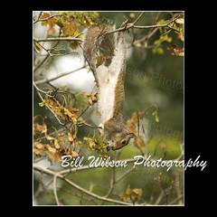 Hangin Around (wildlifephotonj) Tags: nature squirrel squirrels wildlife naturephotography naturephotos wildlifephotography wildlifephotos natureprints wildlifephotographynj naturephotographynj