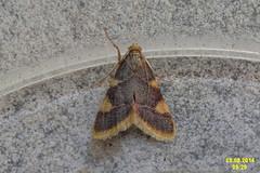 Gold triangle (NH 266) (davidshort) Tags: moths 2014 goldtriangle zavíječzlatoskvrnný hypsopygiacostalis vijačkasenová szénailonca trionglaur
