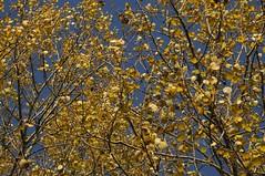 Herbstlich goldene Espe (Populus tremula); Bergenhusen, Stapelholm (42) (Chironius) Tags: autumn trees tree germany deutschland rboles herbst herfst boom arbres rbol alemania otoo albero autunno bume allemagne arbre rvore baum hst trd germania schleswigholstein jesie  ogie aa  pomie  populus pappeln  salicaceae niemcy rosids malpighiales bergenhusen   efterret stapelholm pomienie weidengewchse malpighienartige szlezwigholsztyn fabids