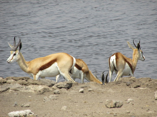 Springboks, Etosha, Namibie