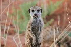 IMG_1088.jpg (pedrolfa) Tags: africa meerkat south kalahari tswalu