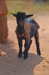 West_Africa-0528jla (ianh3000) Tags: africa park west kid village goat national ghana mole ecovillage mognori